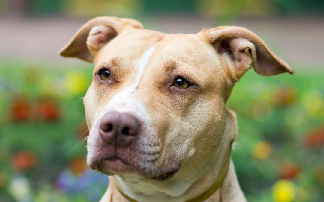 All About the Pit Bull
