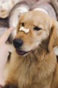 Dog balancing cookie on nose