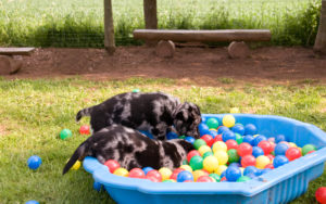 Two puppies playing in a kiddie pool fill with plastic balls.