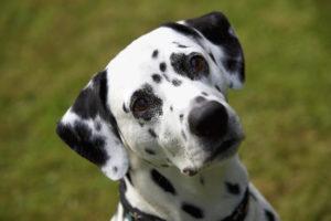 Dalmatian dog head shot