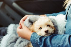 Puppy in lap