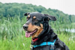 Close up of black and tan dog