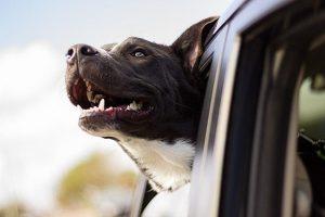 Pet in car